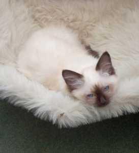 george - Kitten