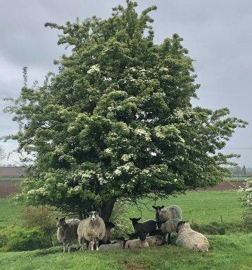 Rain Sheep
